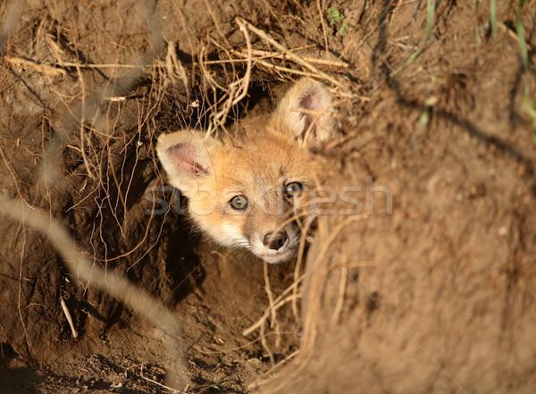 Red Fox kit at den entrance in Saskatchewan Stock photo © pictureguy