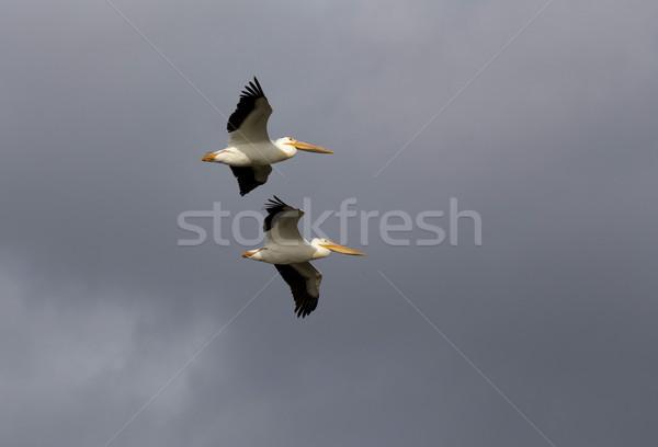 飛行 グレー 空 雲 カナダ 鳥 ストックフォト © pictureguy