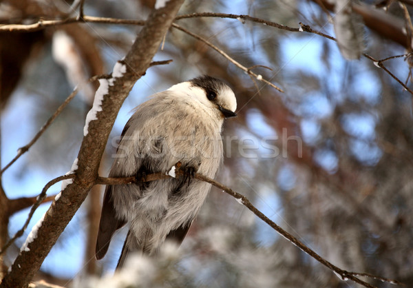Grijs tak vogel kleur natuurlijke horizontaal Stockfoto © pictureguy