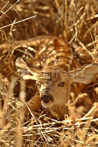 Newly born fawn hiding in a Saskatchewan field Stock photo © pictureguy