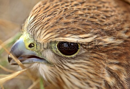 Close up of young Merlin in scenic Saskatchewan Stock photo © pictureguy