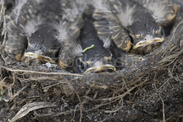 Baby Robins Stock photo © pictureguy