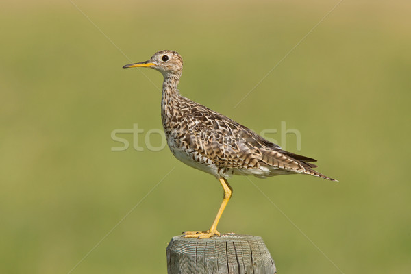 Upland Sandpiper on post Stock photo © pictureguy