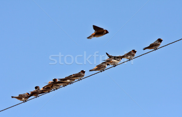 Row of swallows perched on overhead wire Stock photo © pictureguy