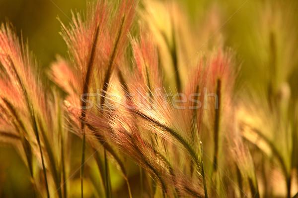 Jęczmień sceniczny saskatchewan kolor cyfrowe chwastów Zdjęcia stock © pictureguy