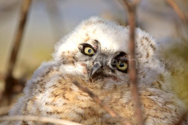 Stock photo: Great Horned Owlet in nest