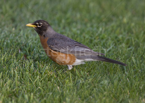 Red Robin on Lawn Stock photo © pictureguy