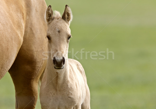 Stock photo: Horse and colt