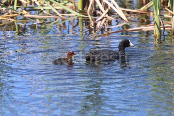 American Coot and baby Stock photo © pictureguy