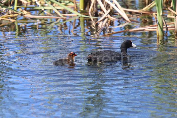 アメリカン 赤ちゃん 池 カナダ 鳥 小さな ストックフォト © pictureguy