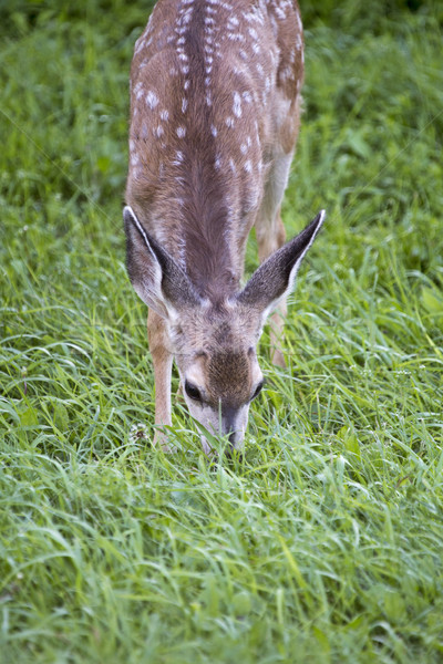 Deer fawn grazing Stock photo © pictureguy