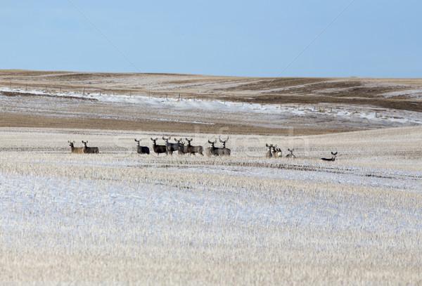 Deer in winter  Stock photo © pictureguy