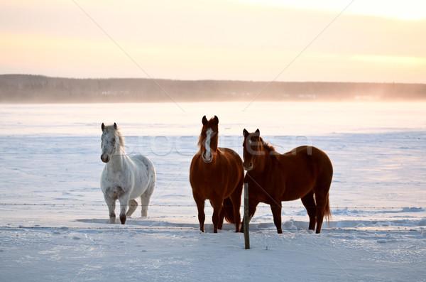 Lovak Saskatchewan tél testtartás hó mező Stock fotó © pictureguy