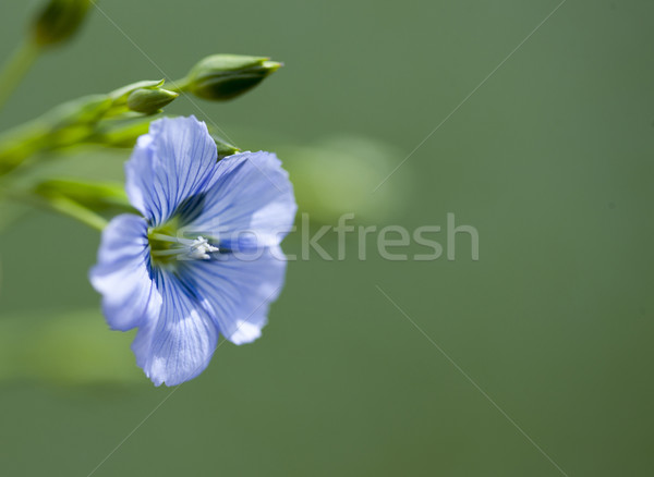 Flax Flower Stock photo © pictureguy