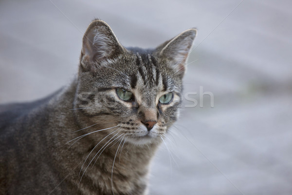 Close Up Tabby Cat Stock photo © pictureguy