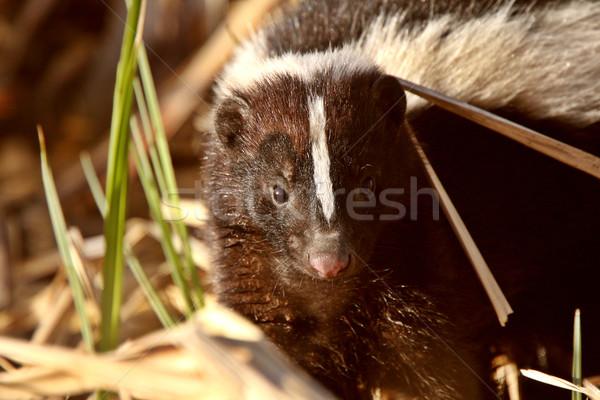 Striped Skunk in marsh Stock photo © pictureguy