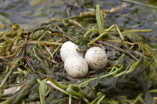 Horned Grebe Eggs Stock photo © pictureguy