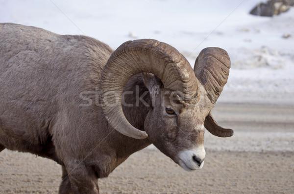 ビッグ ホーン 羊 山 カナダ 冬 ストックフォト © pictureguy