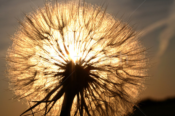 Sunlit goatsbeard seed pod in scenic Saskatchewan Stock photo © pictureguy