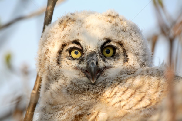 Owlet in nest in Saskatchewan Stock photo © pictureguy