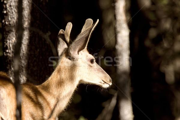 Stock photo: Deer Buck