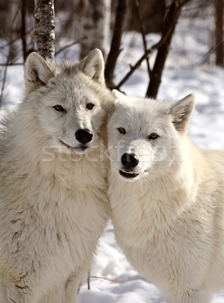 Arctic Wolves close together in winter Stock photo © pictureguy