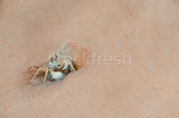 Ghost Crab Stock photo © piedmontphoto