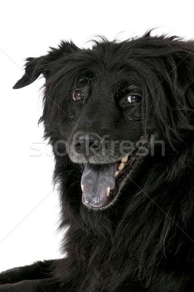 Cão feliz misto espera atenção Foto stock © piedmontphoto