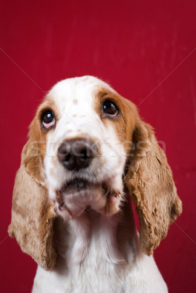 Cute Cocker Spaniel. Stock photo © Pietus