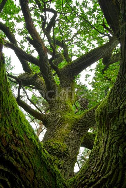 Powerful oak. Stock photo © Pietus
