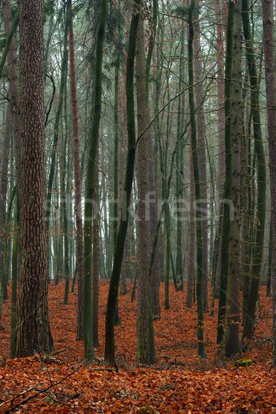 Mixed autumn forest. Stock photo © Pietus
