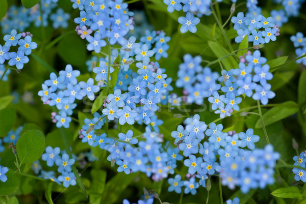 Forget-me-not. Stock photo © Pietus