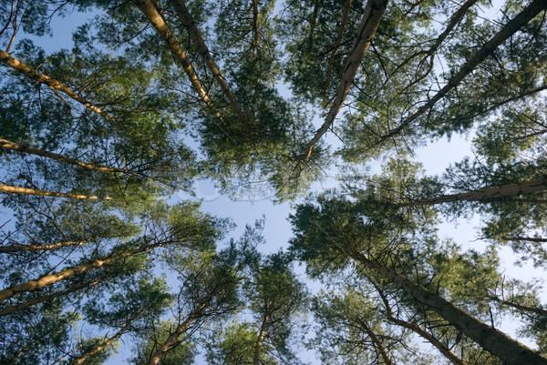 Pine hout bomen alle rond Stockfoto © Pietus