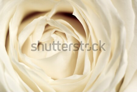 Delicate rose. Stock photo © Pietus