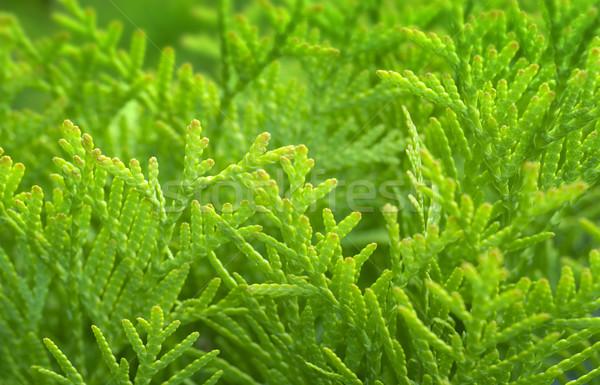 Fresh green. Stock photo © Pietus