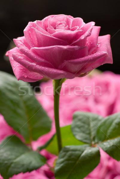 Сток-фото: закрывается · Розовые · розы · капли · воды · другой · роз