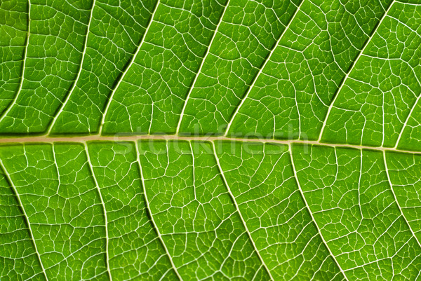 Blad detail groen blad gericht centrum Stockfoto © Pietus