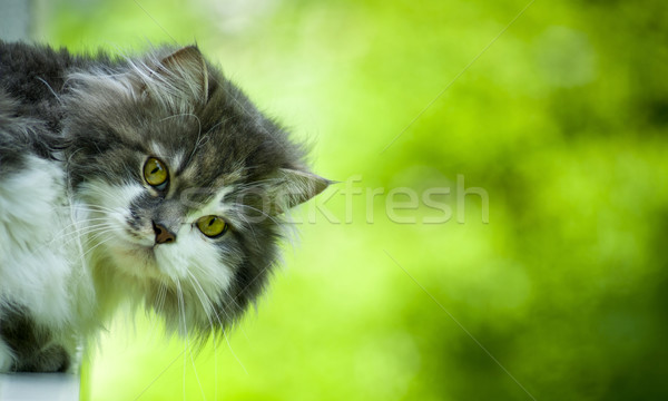 Cute gato gatos cabeza mirando cámara Foto stock © Pietus
