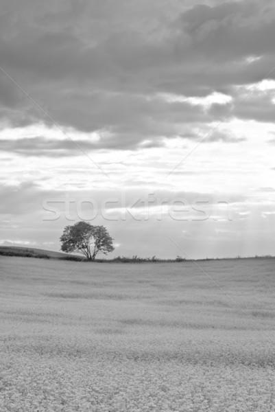 Campo silueta árbol horizonte paisaje verano Foto stock © Pietus