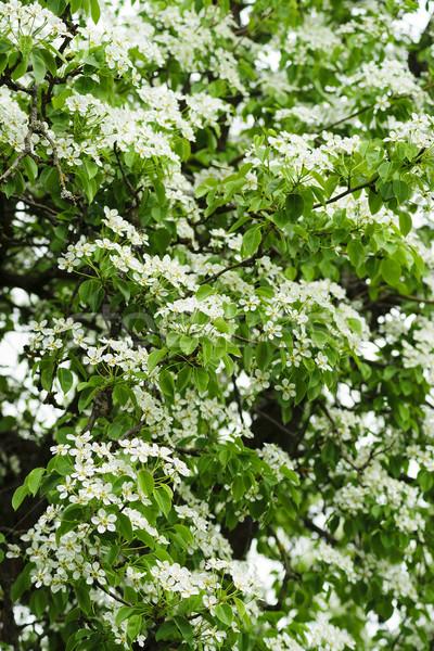 Witte bloemen peer vers groene voorjaar bladeren Stockfoto © Pietus