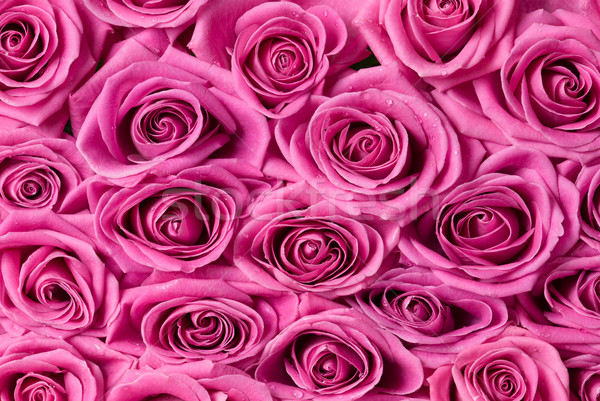 Detalle gotas agua aumentó rosa Foto stock © Pietus