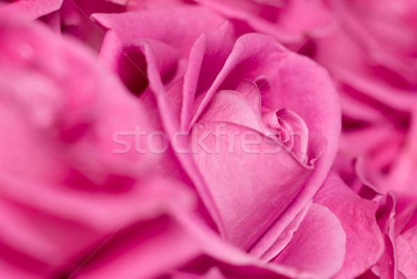 Pembe güller sığ gül arka plan Stok fotoğraf © Pietus
