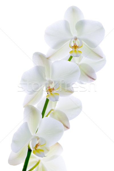 Pure orchid. Stock photo © Pietus