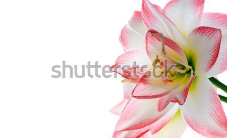 Bloem familie taal bloemen schoonheid trots Stockfoto © Pietus