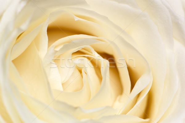 Cream rose. Stock photo © Pietus