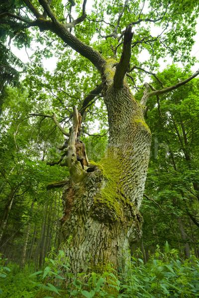 старые дуб могущественный древесины лес природы Сток-фото © Pietus