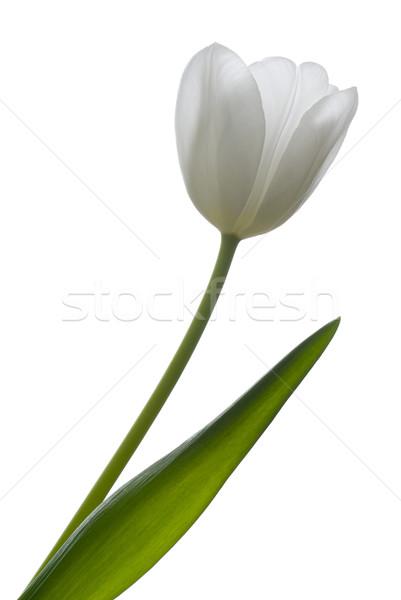 Witte tulp geïsoleerd groene silhouet hoofd Stockfoto © Pietus