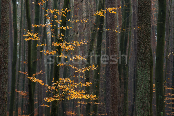 Boom bos gouden natuur oranje Stockfoto © Pietus