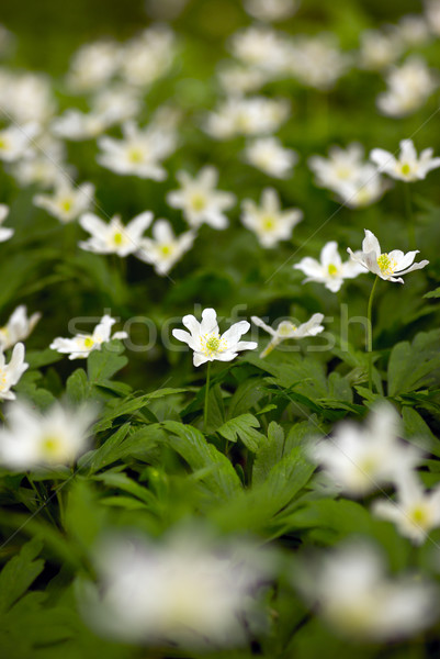 Anemone. Stock photo © Pietus