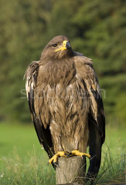 Adelaar vogel buit familie dier Stockfoto © Pietus